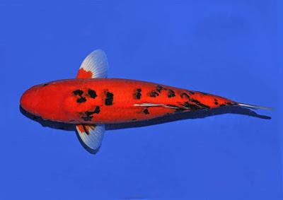 Ikan Koi Aka Bekko