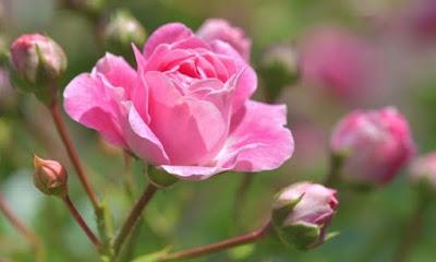 Como podar roseiras