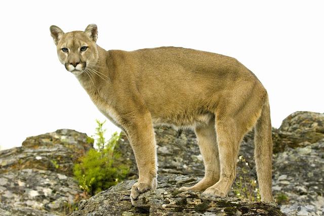 Amazing facts about Puma 7