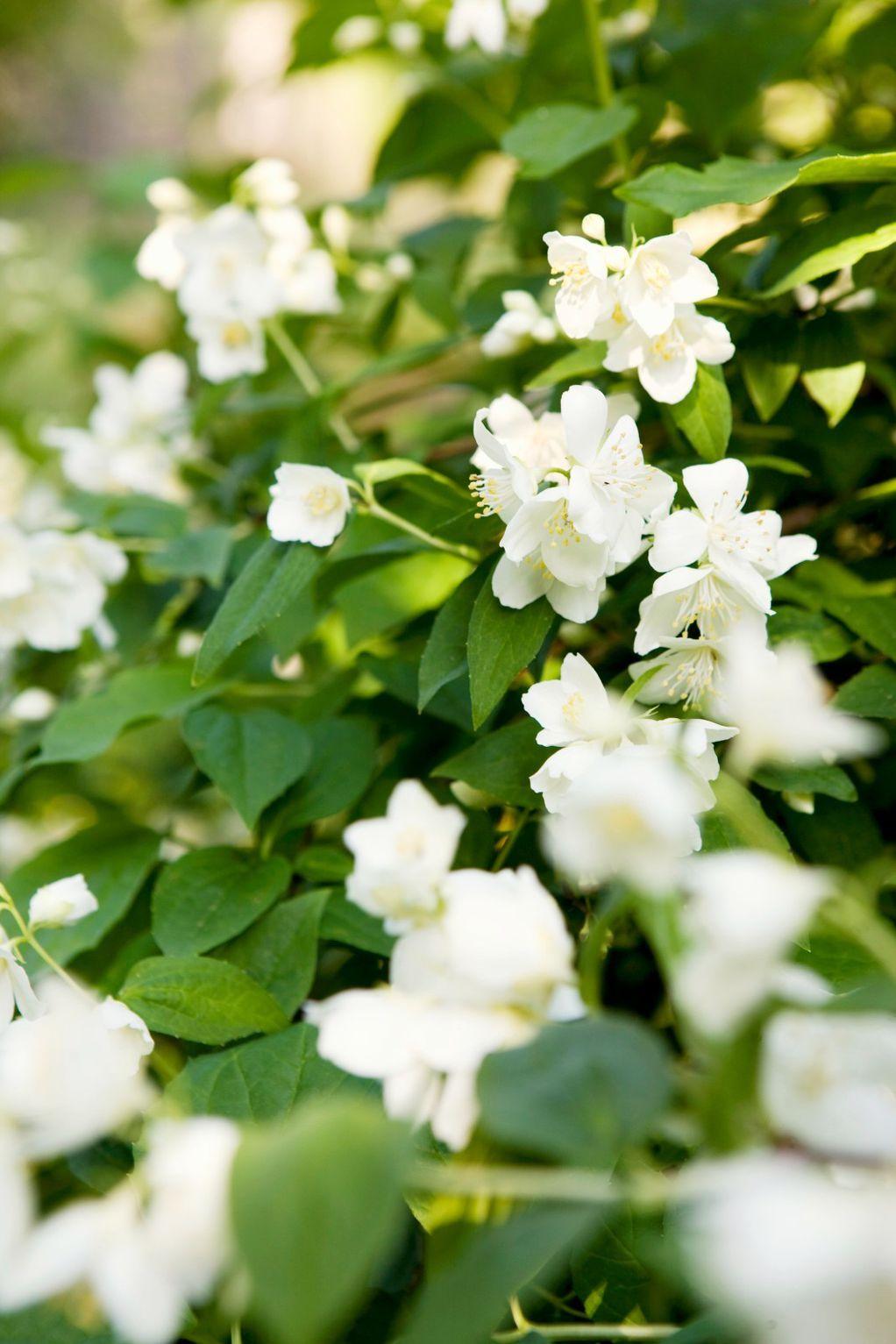 bijeli-jasmin-cvijece_balkon_miris_aroma