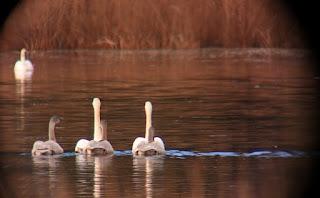swans swimming away