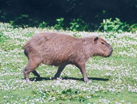 coloring pages capybara as pets - photo#19