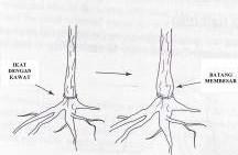 Gambar Pengikatan pada pangkal batang sehingga batang membengkak
