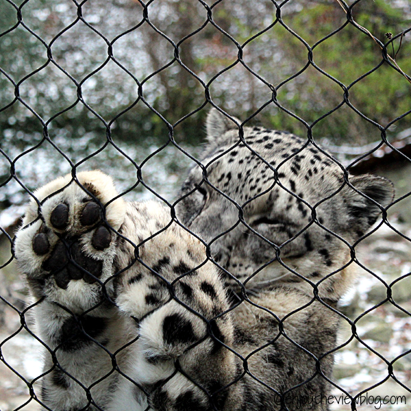 Snow leopard reaching up on the fence with paws