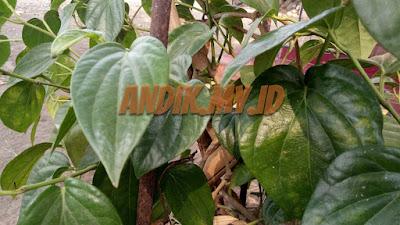 foto, daun sirih, daun sirih hijau, tanaman sirih, gambar daun sirih,