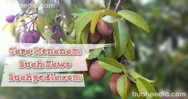 cara menanam buah sawo