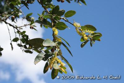 Sebastiania commersoniana