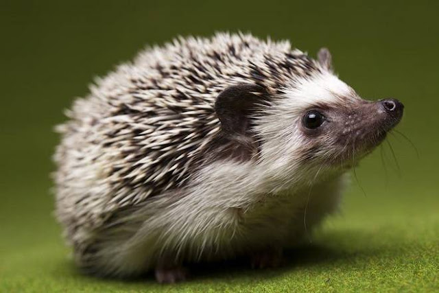 can you keep hedgehogs as pets