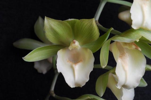 Gambar Bunga Anggrek Catasetum