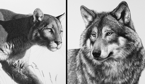 00-William-Bill-Harrison-Majestic-Wildlife-Carbon-Pencil-Drawings-www-designstack-co