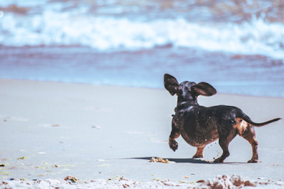 A dachshund is running along a sandy beach besides the waves