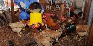 Masih Muda Sukses Dengan Omset Hingga Rp 165 Juta Per Bulan Dari Ternak Ayam Kampung