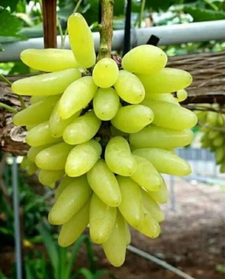 bibit buah anggur pizzutelo bianco Tangerang Selatan