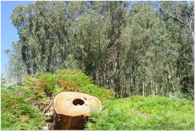 Tronco y eucaliptos