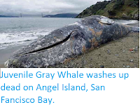 http://sciencythoughts.blogspot.co.uk/2018/03/juvenile-gray-whale-washes-up-dead-on.html