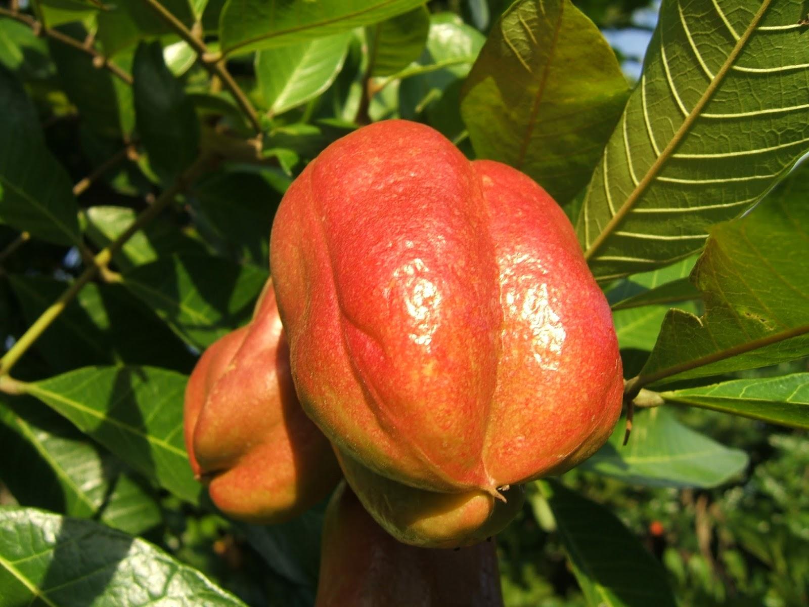 ackee fruta nacional da jamaica blog arco do verde rh arcodoverde blogspot com fruta nacional de venezuela fruta nacional de mexico