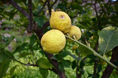 lemons%2Bwith%2Bfruit%2Bfly%2Bhole.jpg