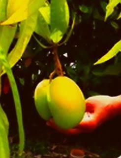 Ripe Mangoes