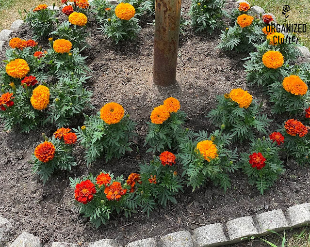Photo of marigolds planted in a small garden