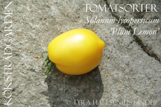 """Plum Lemon Tomato"""