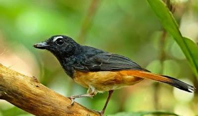 Burung Ceumpala Kuneng