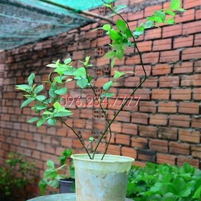 Đăng tin rao vặt: Người dân thành thị đang săn lùng loài cây trồng này - Cây việt quất Cay-giong-Viet-quat-den