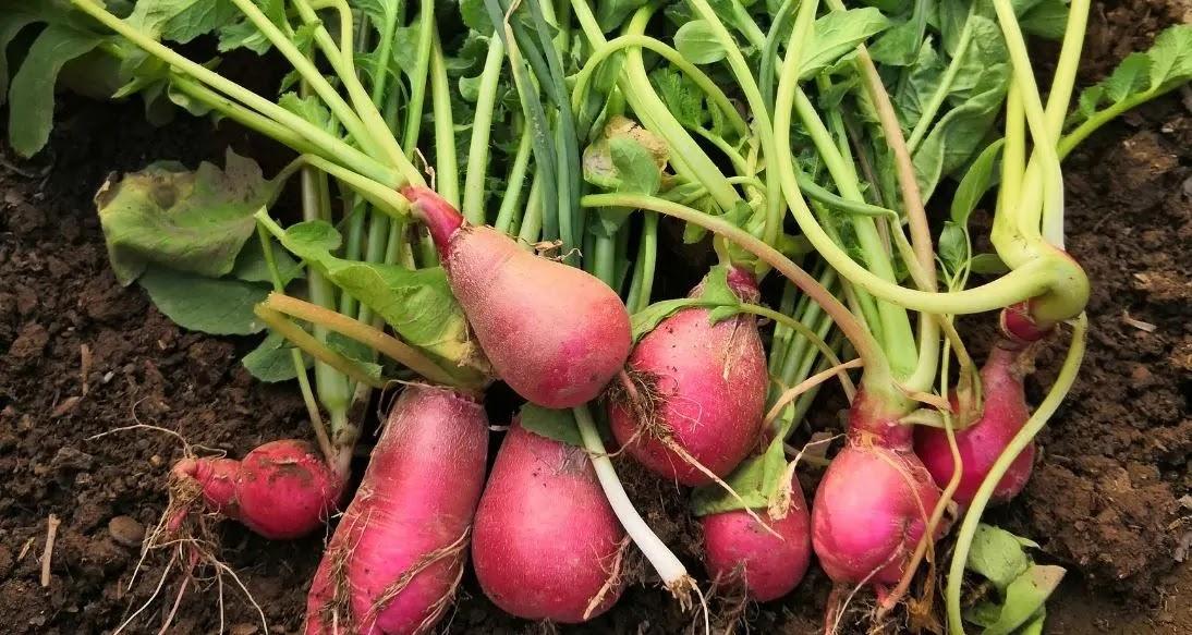 Como germinar/sembrar semillas de RÁBANO en casa.