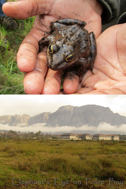 Cape River frog at Kenilworth Race Course