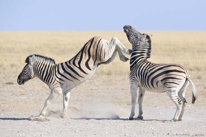 Mengenal Zebra, Kenapa Dia Berbeda dengan Kuda dan Keledai