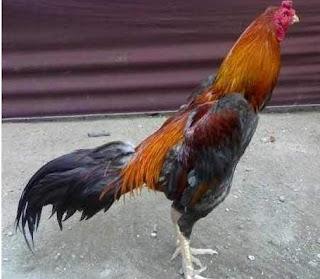ayam bangkok magon