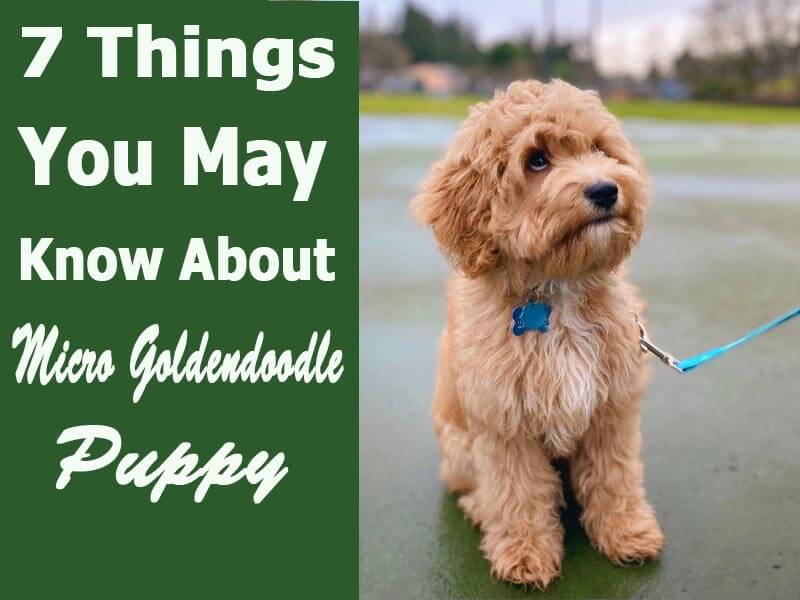 7 Things You May Know About Micro Goldendoodle Puppy