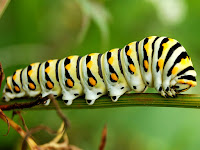 Caterpillar Animal Pictures