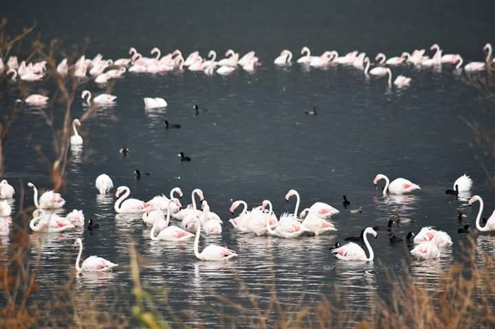 Flamingo sti Limni Vistonida