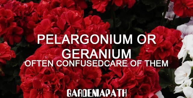 Pelargonium Or Geranium Often