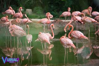 Contoh Hewan Omnivora Flamingo