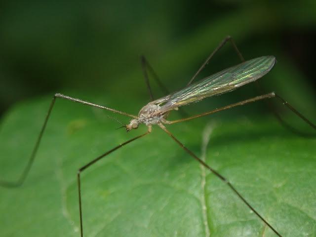 Dicranoptycha sp