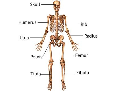 THE SKELETAL SYSTEM - AcchiBaat.कॉम