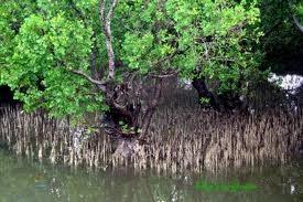 Tropical Rainforest and Mangrove: How do Mangroves adapt ...  Tropical Rainfo...