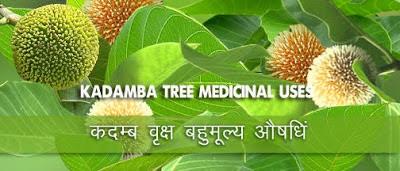 कदम्ब वृक्ष बहुमूल्य औषधि, Kadam Kadamba Tree in Hindi, Kadam Tree in Hindi, कदम्ब के फायदे, कदम्ब का परिचय, Introduction of Kadamb, कदंब वृक्ष , Health Benefits of Kadamb Tree, कदम्ब वृक्ष औषधीय गुण, कदम वृक्ष के औषधीय गुण ,  Kadamba ke Aushadhi Gun, kadam ke fayde, Kadam Tree, Ayurvedic use of Kadamb Tree