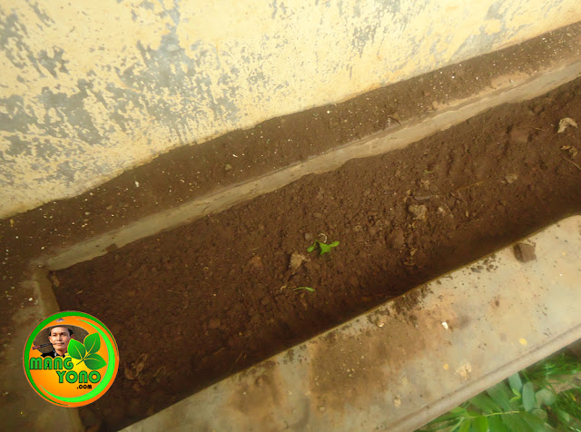 Menggemburkan tanah untuk menanam biji kangkung darat.