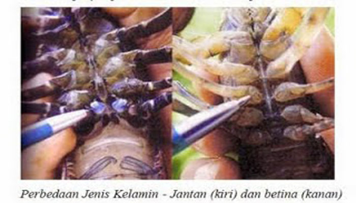 Lobster jantan dan betina