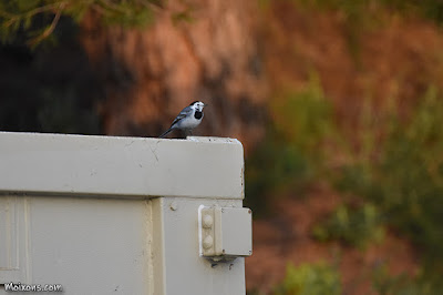 Cuereta blanca (Motacilla alba)