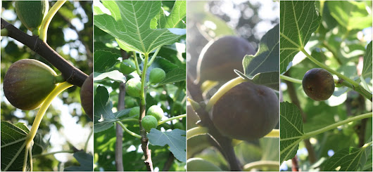 Dig the Fig - The essential guide to all you need to know about figs - Ficus carica