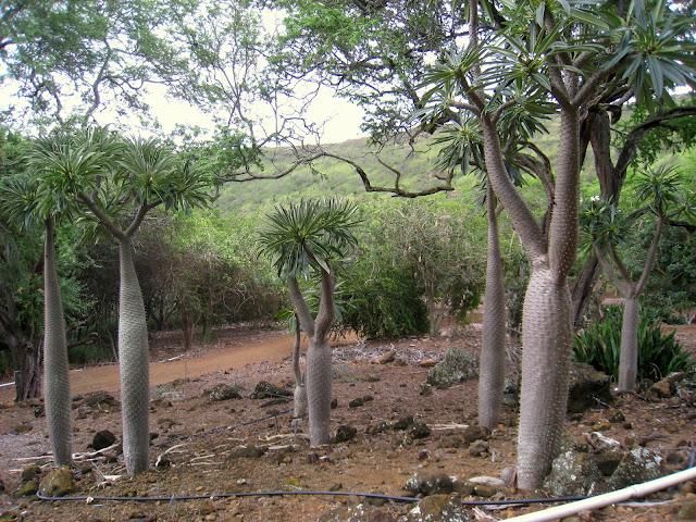Palme del Madagascar