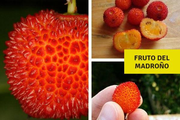 El fruto del madroño es una baya comestible en su madurez, carnosa, de color rojo con pequeñas verruguitas
