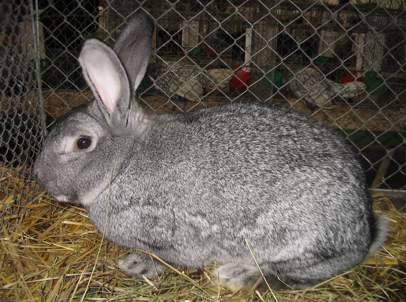 Merawat Kelinci kelinci raksasa kelinci ternak
