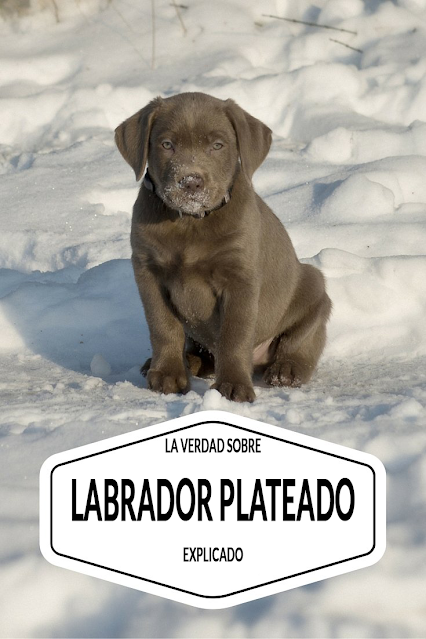 LA VERDAD POR LABRADOR PLATEADO