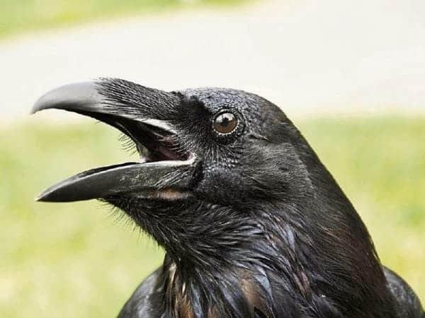 Mitos Sate Burung Gagak