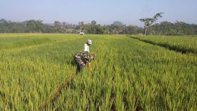 Babinsa Beri Semangat Petani Dalam Membersihkan Gulma