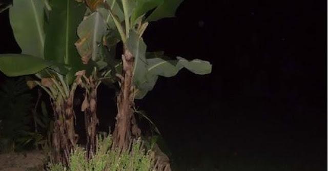 pocong di pohon pisang